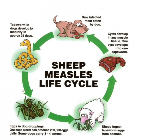 Sheep measles life cycle