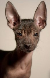 The Mexican Hairless