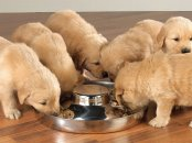 Puppies feeding